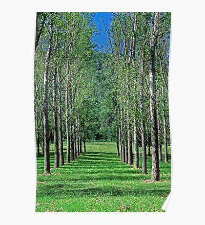 Avenue of Poplar Trees - Hunter Valley NSW, Poster