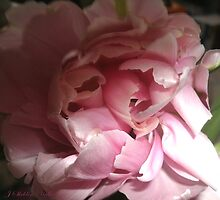 Parrot tulips by HardworkinJudy