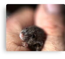A baby mouse twitching his nose. Canvas Print