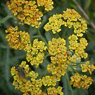 Yarrow (Achillea &#x27;Terracotta&#x27;) and Fly by Erica Corr