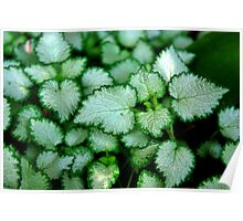 Silver Leaves - Rancho Cucamonga, CA Poster