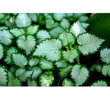 Silver Leaves - Rancho Cucamonga, CA Photographic Print