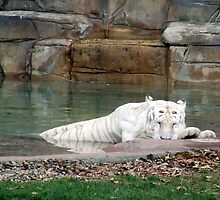 White Tiger Sleeping by Kimberly Caldwell