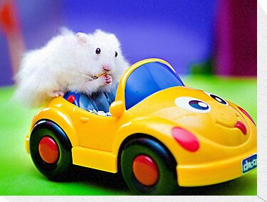 driving hamster by Carol Yepes