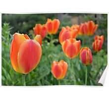 Two Tone Orange Tulips Poster