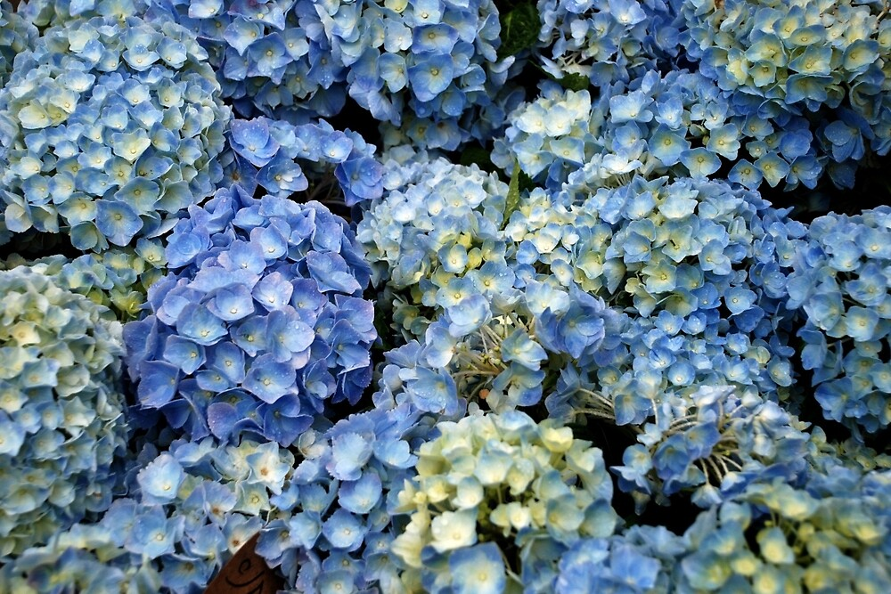 Blue hydrangeas by Arie Koene