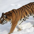 On the Prowl, The snow of Minnesota zoo by Glynn Jackson