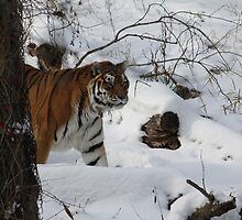 On the Prowl 2, The snow of Minnesota zoo by Glynn Jackson