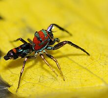Colourful Spider.... by Dr. Pankaj Kumar