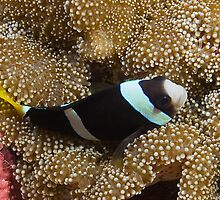Clarks Clownfish (Amphiprion clarkii) on Anemone by idun0