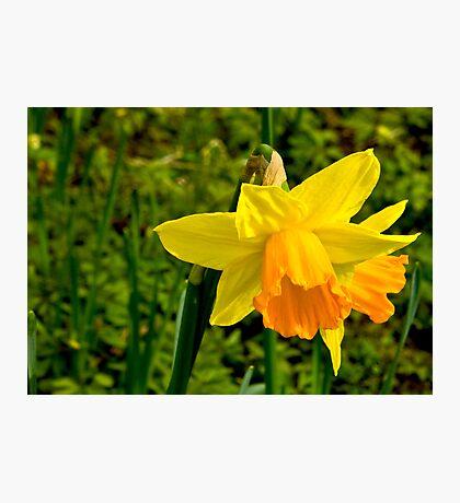 Daffodill #2 Photographic Print