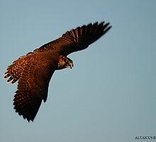 Falco peregrinus pealei by Daniel Rosselló