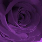 Purple Velvet by Lozzar Flowers & Art
