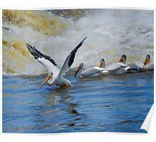 pelicans  illinois Poster