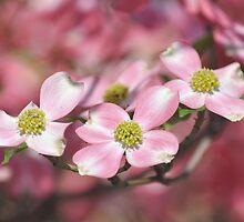 Pink Dogwood - Cornus florida by Matsumoto