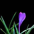 Crocus..... by DaveHrusecky