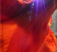 Sunburst on amaryllis by © Pauline Wherrell