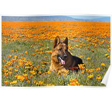 German shepherd - California poppy Fields Poster