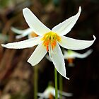 Fawn Lily - Victoria, BC by Tejana Howes