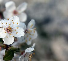 Raw Blossoms - Victoria, BC by Tejana Howes