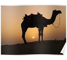 Camel at sunset in Thar desert Poster