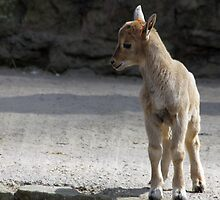 Baby Barbary Sheep  by Evette Lisle