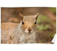 Grey squirrel juvenile Poster