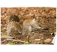 Grey squirrel juvenile about to sing you a song? Poster