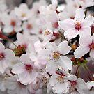 Sakura, Softly Pink by mjds