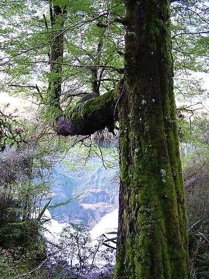 Tree, moss and mountain reflection by Laura Grogan