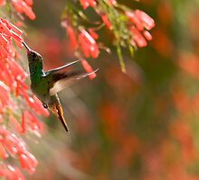 Hummingbird Feeding - Costa Rica by Matthew Tiegs