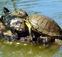 Cuddling Turtles by Wanda Raines