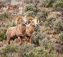 Big Horn Rams 2 by Albert Dickson