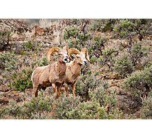 Big Horn Rams 2 Photographic Print