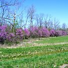 The Red Buds are in Bloom by barnsis