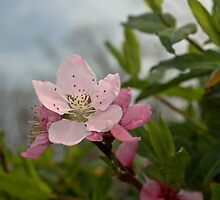 Peach Blossom by seeddings