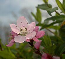 Peach Blossom by seeddings