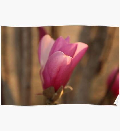 Pink Tulip Tree Flower Poster