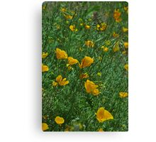 Mexican Poppys Canvas Print