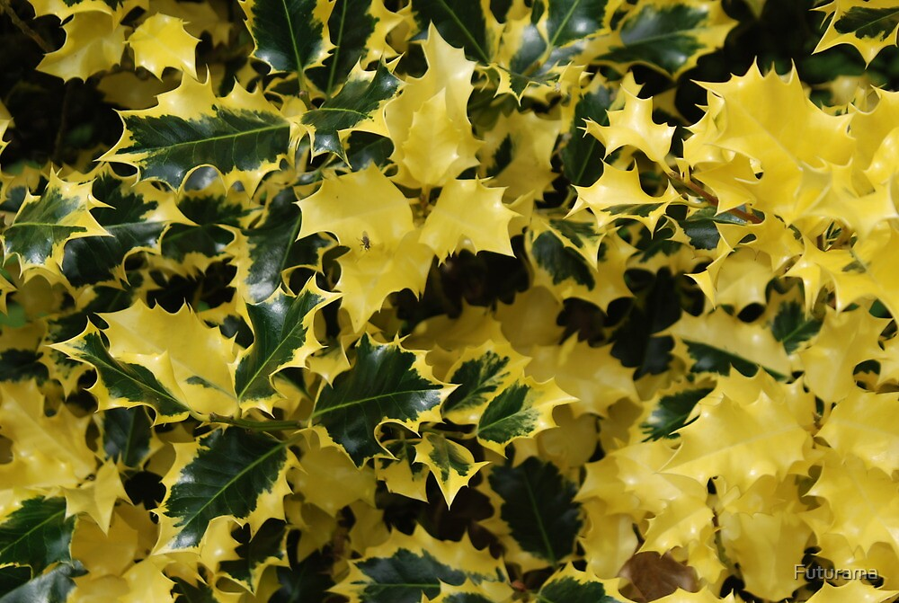 Variegated Holly by Futurama