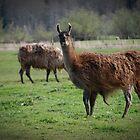 Llama Country by Jonice