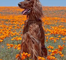 Phantom in the Poppies by Ann J. Sagel