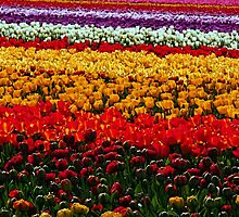 Beautiful Field of Color by Tori Snow