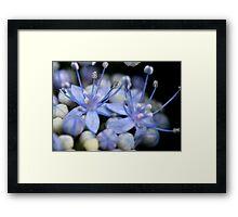 Hydrandrea Macro Framed Print