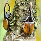 Hercules beetles by jimmy hoffman