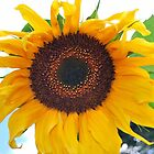Sunflower by Stan Owen