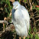 young little blue heron by kathy s gillentine