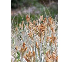 Dune Grasses - Fingal Bay Photographic Print