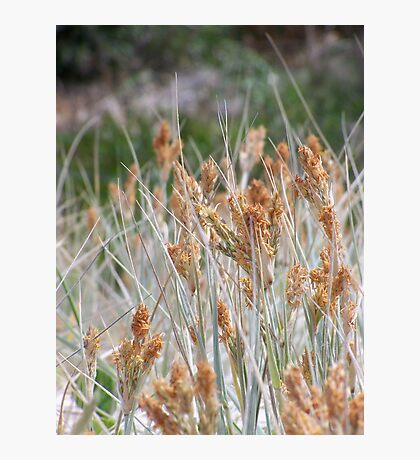 Dune Grasses - Fingal Bay Photographic Print