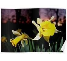 Daffodils at Sunset Poster